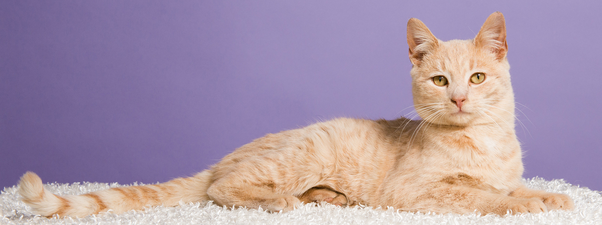 orange cat laying on white rug with purple background